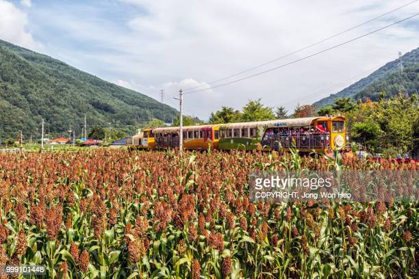 The tourist train passing by the sorghum farm