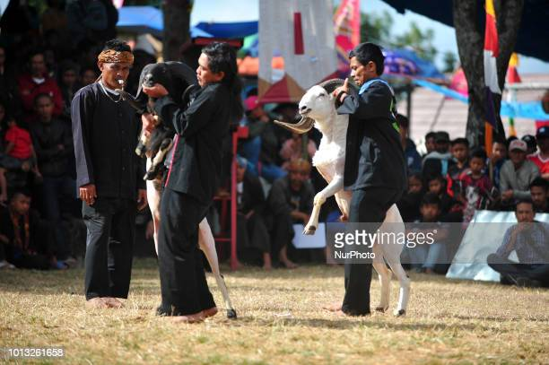 The trainer gave a massage to the Garut sheep at the dexterity match in the village of Rancabango Garut West Java in August2018 The match was...