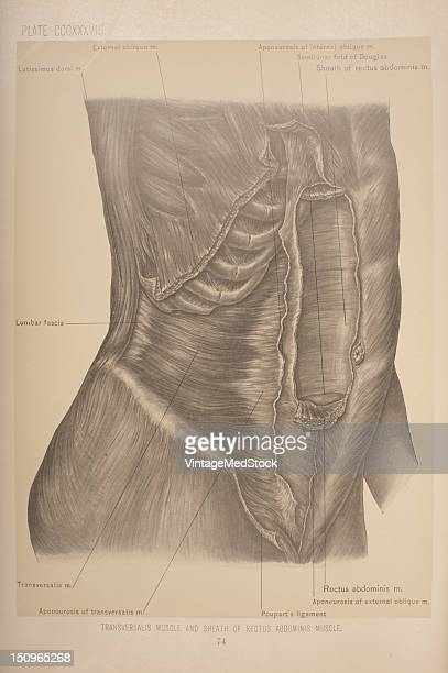 The transversalis muscle arises from the outer one third of Poupart's ligament the anterior twothirds of the inner lip of the crest of the ilium the...