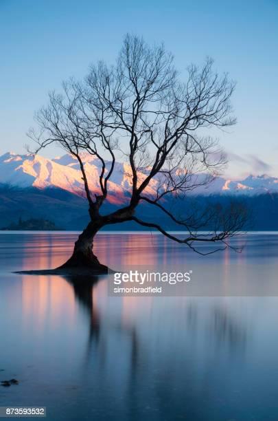 a árvore no lago wanaka na nova zelândia - wanaka - fotografias e filmes do acervo