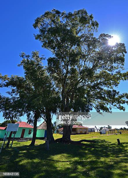 The tree at the Great Place palace at Mqhekezweni where Former South African President Nelson Mandela lived when he was entrusted under the...