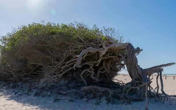 The Tree of Laziness, a natural icon of Preá beach, in Jijoca de Jericoacoara.