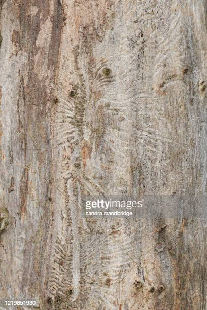 the tree trunk of a dead english elm tree, ulmus procera, that has been killed by dutch elm disease in woodland in the uk. - dutch elm disease stock pictures, royalty-free photos & images
