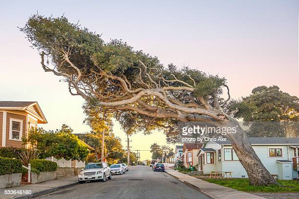 The tree with a mind of its own - Pacific Grove, CA