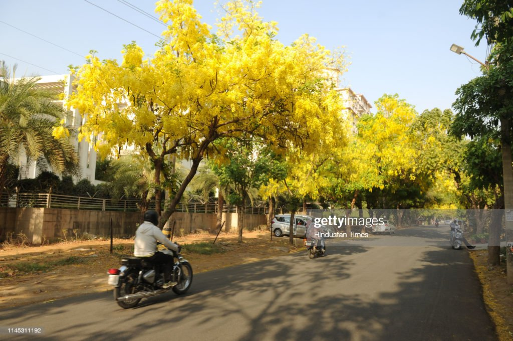 IND: Special Story On Amaltas, Indian Laburnum Blooming