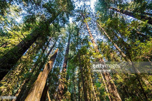 The treetops of the Redwood trees in the Avenue of the Giants, Northern California, USA