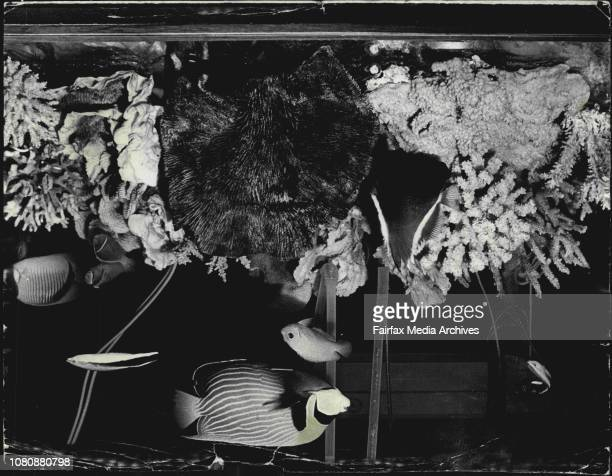 The tropical fish tank at the Fiji exhibit at the International Trade Fair at the Showground October 23 1969