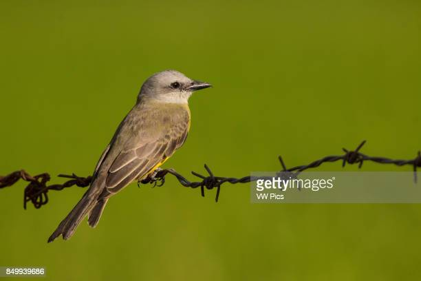 The tropical kingbird near rice culture IbaguE Tolima Colombia