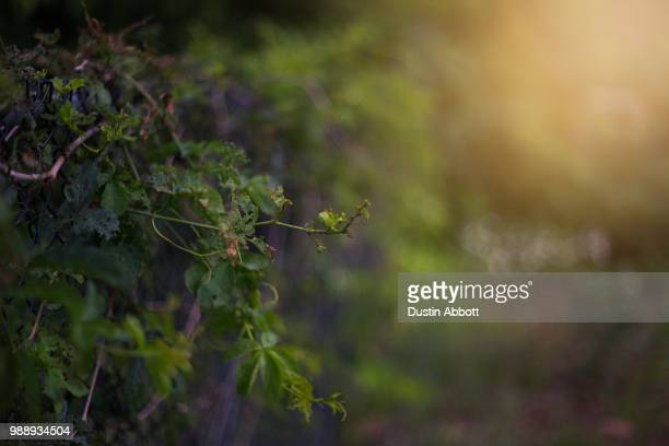 the true vine - dustin abbott stock pictures, royalty-free photos & images