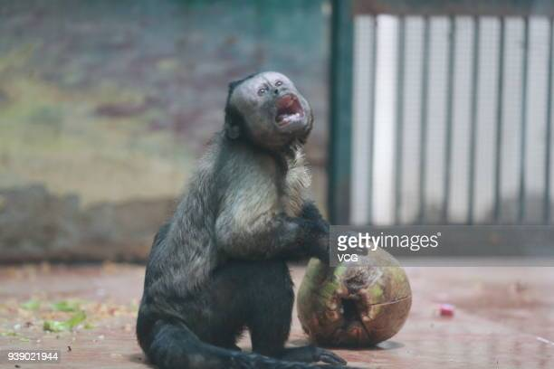 The tufted capuchin with a square face plays at Tianjin Zoo on March 27, 2018 in Tianjin, China. Different from its sharp-faced peers, the monkey...