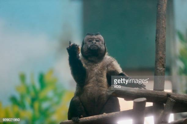 The tufted capuchin with a square face plays at Tianjin Zoo on March 27 2018 in Tianjin China Different from its sharpfaced peers the monkey goes...