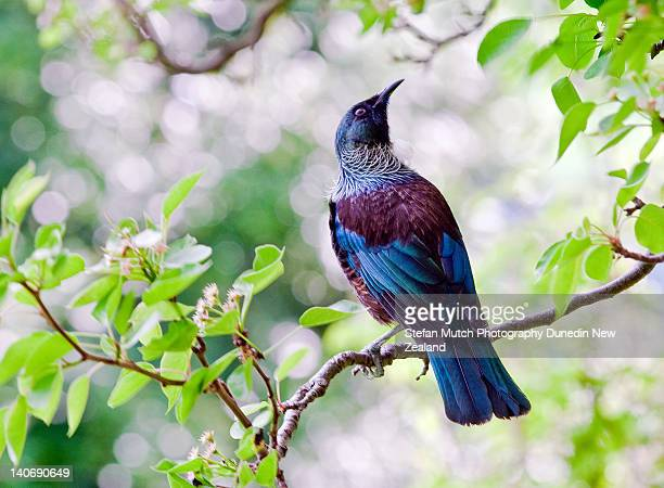 The tui perching on tree branch
