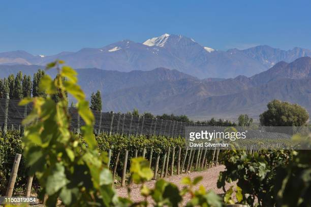 The Tupungato volcano one of the highest mountains of the Andes is seen behind the vineyards during the harvest season at the Cheval des Andes winery...