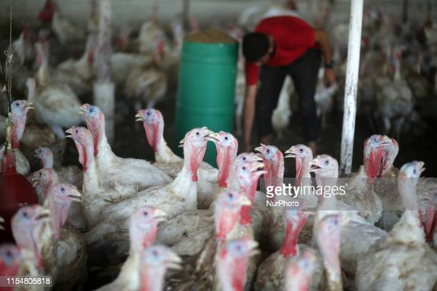 The turkeys were seen at a farm in Gaza City July 9 2019