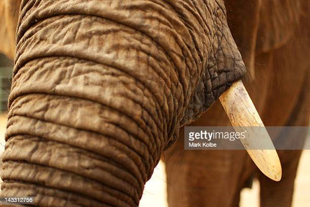 The tusk of 'Cuddles' a female African Elephant is seen at Taronga Western Plains Zoo on April 20 2012 in Dubbo Australia The popular 35 year old...