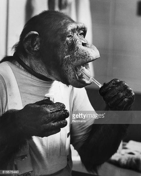 The twenty-three year old chimpanzee J. Fred Muggs brushes his teeth in preparation for one of his daily shows at Busch Gardens in Tampa, Florida....