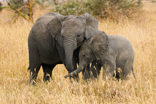 The two brothers elephants 847641146