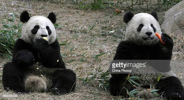 The two giant pandas for Taiwan compatriots eat at the Wolong China Giant Panda Protection and Research Center on January 6 2006 in Wolong of Sichuan...