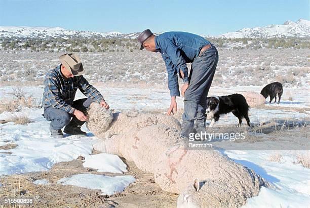 The two sheep herders pictured here are Joe Oturrutia and Enrique Edexpuru They are both Basque shepards from Spain who are looking over the...