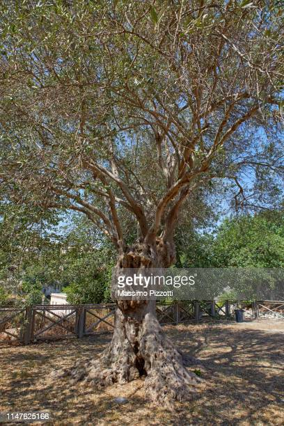 the typical trunk of an olive tree (olea europaea) in sicily - massimo pizzotti foto e immagini stock