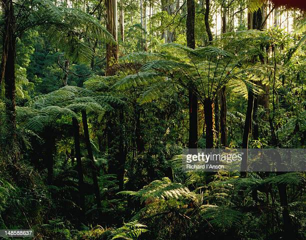 the ubiquitous tree ferns of sherbrooke forest - dandenong ranges national park - melbourne, victoria - dandenong stock photos and pictures