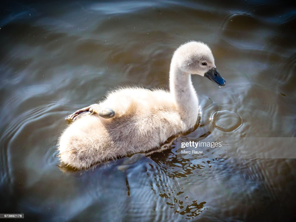 The (not so) ugly duckling - a cute baby swan with one leg resting on its back. : Stock Photo