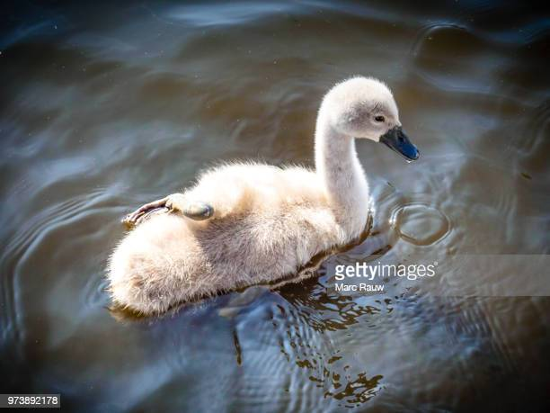 the (not so) ugly duckling - a cute baby swan with one leg resting on its back. - ugly baby stock photos and pictures