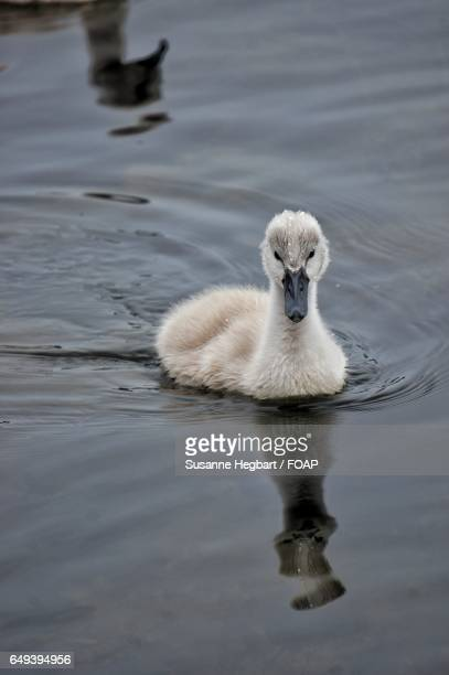 the ugly duckling - ugly duckling stock photos and pictures