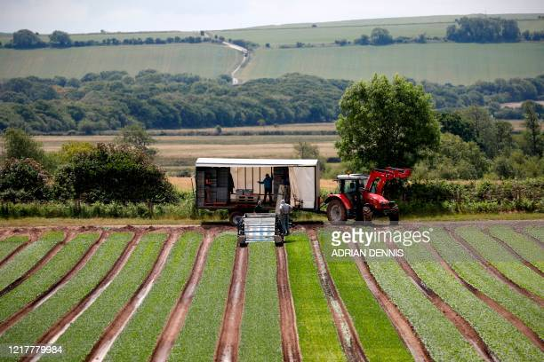 The UK Seasonal Relief Team working for The Watercress Company harvest spinach on farmland near Dorchester, in southern England on June 5 during the...