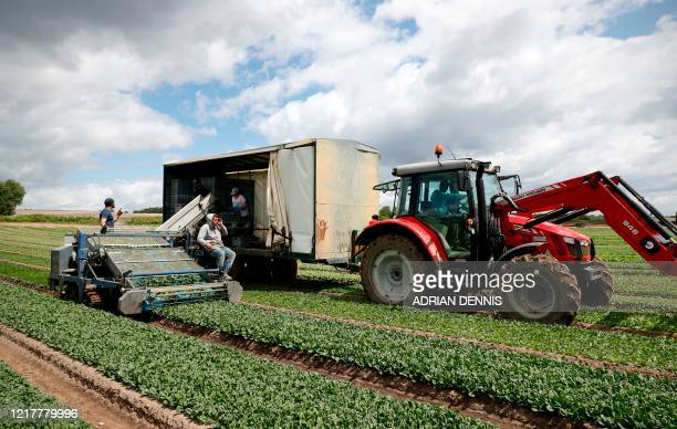 The UK Seasonal Relief Team working for The Watercress Company harvest spinach on farmland near Dorchester in southern England on June 5 during the...