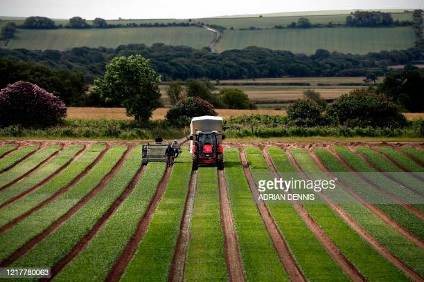 The UK Seasonal Relief Team working for The Watercress Company operate the cutting machine harvest spinach on farmland near Dorchester in southern...