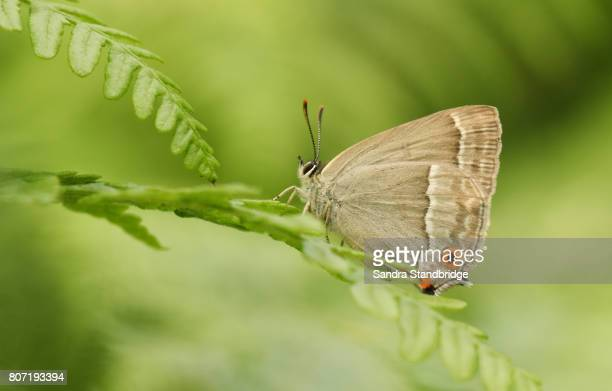 the underside of a beautiful female purple hairstreak butterfly (favonius quercus) perched on bracken. - hertford hertfordshire stock pictures, royalty-free photos & images