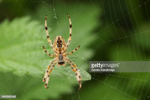 the underside of a  european garden spider or cross orb-weaver (araneus diadematus) perched on its web. - spider stock pictures, royalty-free photos & images