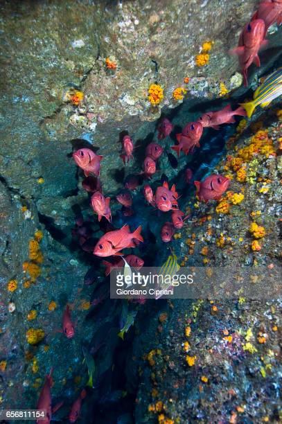 the underwater world of the cocos islands. - squirrel fish stockfoto's en -beelden