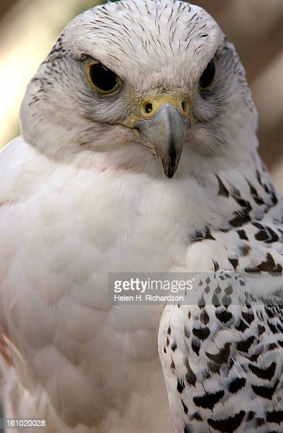 The United States Air Force Academy Falcon Mascot Program <cq> includes 11 falcons which they use for half time shows during football season and to...