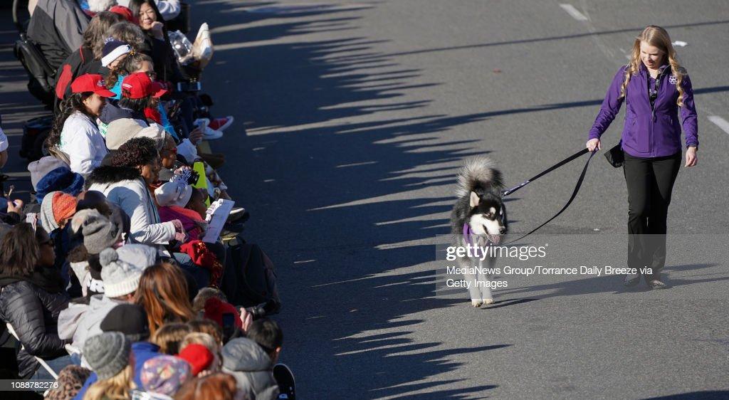 the university of washington huskies mascot walks along the parade