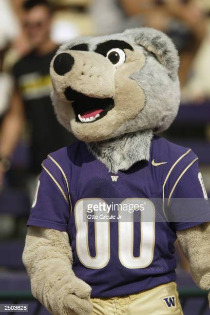 The University of Washington Huskies mascot walks the sideline during a game against the University of Indiana Hoosiers on September 6 2003 at Husky...