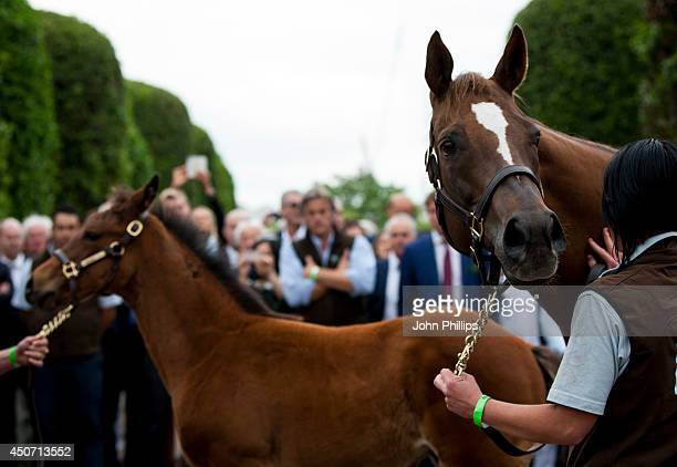 The unnamed threemonthold foal fathered by racehorse Frankel and Mother Crystal Gaze walk at The Orangery on June 16 2014 in London England Frankel...