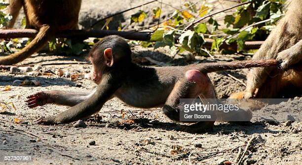 the unstoppable baboon explorer - restraining stock photos and pictures
