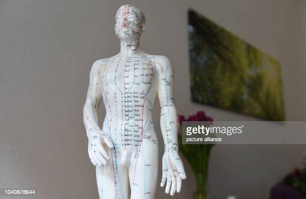 The upper body of an acupuncture model featuring meridian and acupuncture point marks in Berlin Germany 25 February 2016 Photo JENS KALAENE/dpa |...