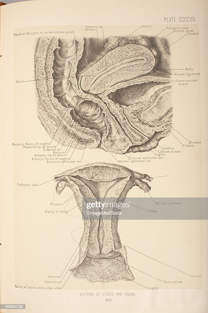 Sections Of The Uterus & Vagina : News Photo