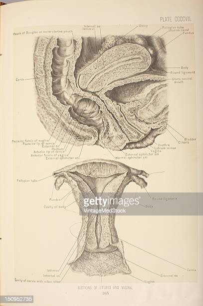 The Uterus is a hollow viscus which has thick muscular walls and projcts upward from the vagina into the female pelvic cavity between the rectum and...
