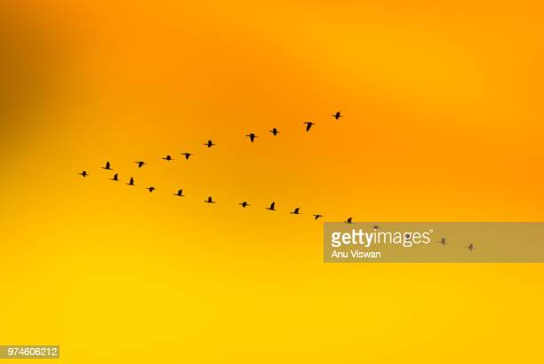 the 'v' - flock of birds stock pictures, royalty-free photos & images