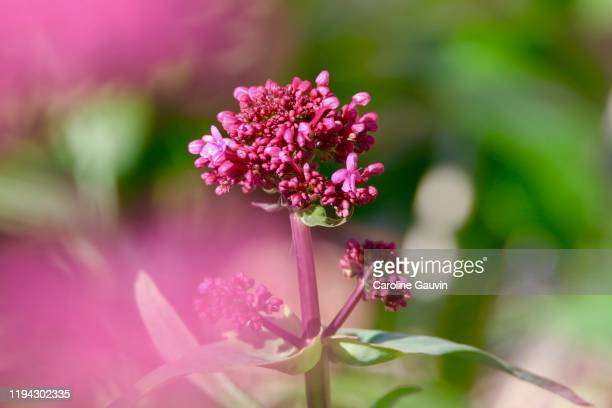 the valerian - valerian plant stock pictures, royalty-free photos & images