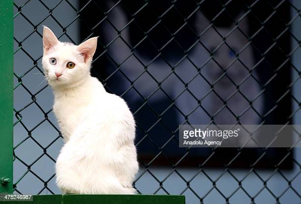 The Van cat is a distinctive landrace of domestic cat found in the Lake Van region of eastern Turkey on February 26 2014 One of the cats attracting...