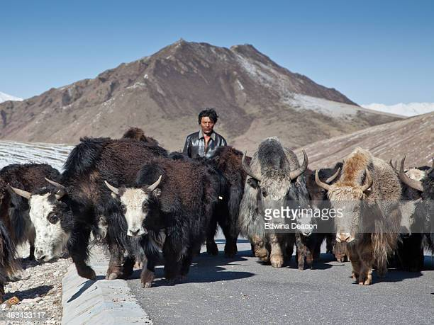 CONTENT] The vast landscape of the Qinghai region of China is home to the hardy yak The yak provide warmth clothing fuel and food to the nomadic and...
