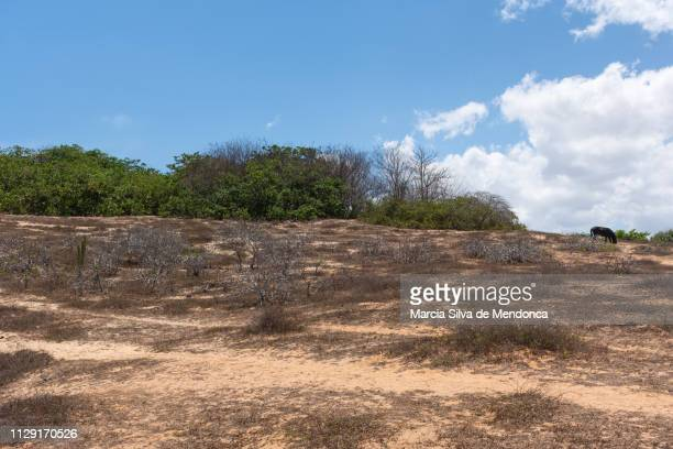 the vegetation of the jericoacoara cerrado contrasts with the blue of the sky. - arbusto stock pictures, royalty-free photos & images