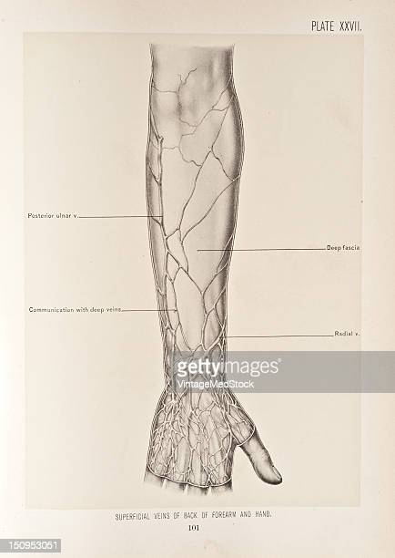 The veins found in the superficial fascia of the arm are special interest because of their symmetric arrangement and surgical importance those in...