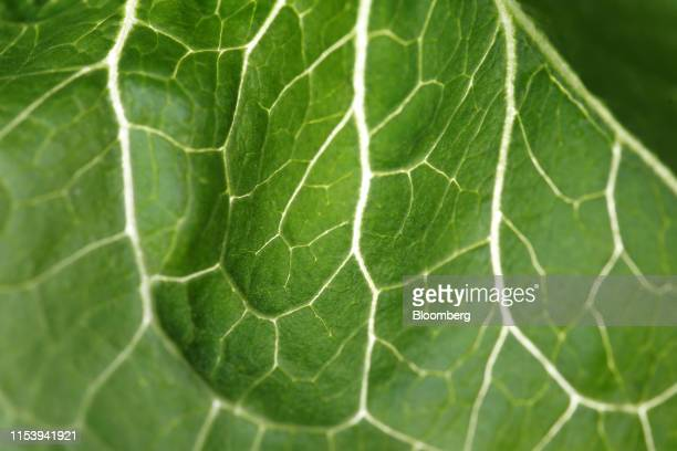 The veins in a romaine lettuce leaf are seen at Itzke River Farm near St Francois Xavier Manitoba Canada on Wednesday July 3 2019 Winnipeg has seen...