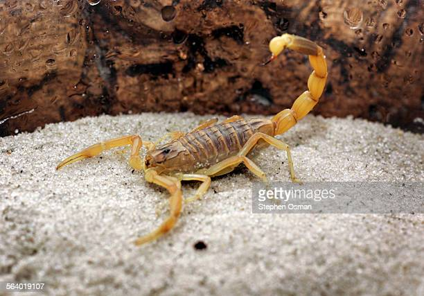 The venom from the deathstalker scorpion is now thought to be a treatment for brain cancer Photographed at the Natural History Museum of Los Angeles...